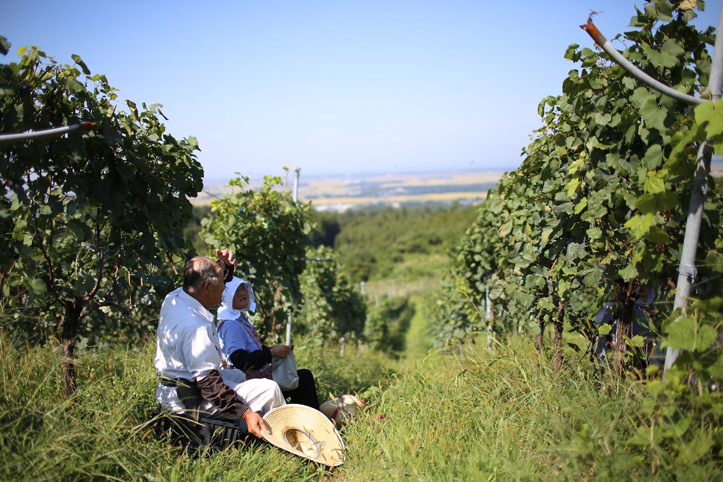 葡萄畑と農家のおじいちゃん、おばあちゃん