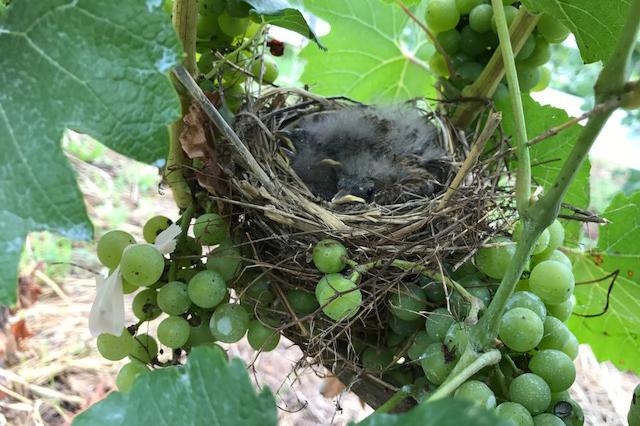 葡萄畑に幸運を呼ぶ鳥の巣