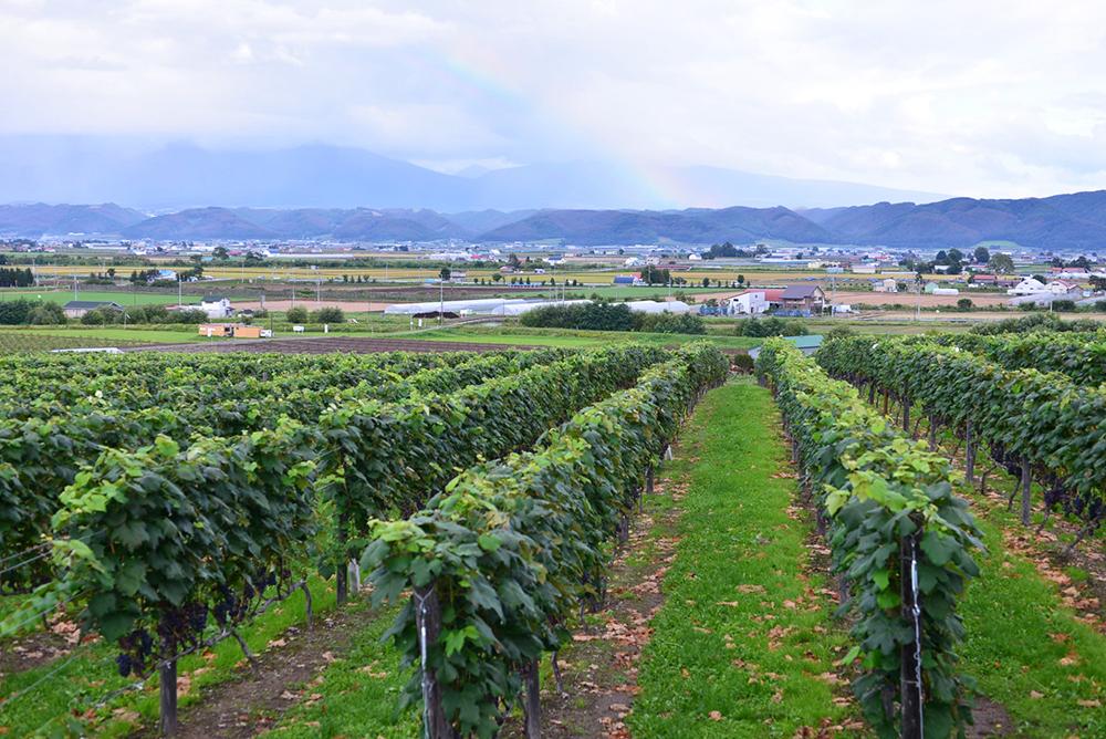 日本の葡萄畑の風景